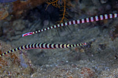 Male banded pipefish carrying egg sack. Royalty Free Stock Photography