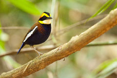 Male banded pitta Royalty Free Stock Photography