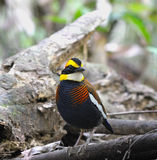 The male of Banded Pittas Stock Photos