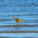 Male Bar-tailed Godwit or Limosa lapponica walk at seashore in waves, portrait, selective focus, shallow DOF.  stock photography