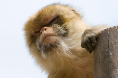 Male Barbary Macaque (Macacus sylvanus) Royalty Free Stock Photos