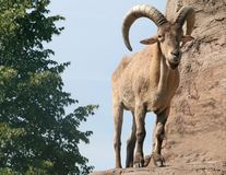 Male Barbary Sheep Royalty Free Stock Images