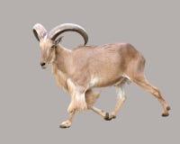 Male Barbary sheep (Ammotragus lervia). Male Barbary sheep ( Ammotragus lervia Stock Photography