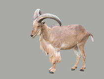 Male Barbary sheep (Ammotragus lervia) Stock Image