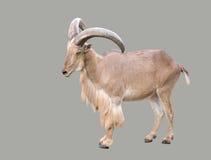 Male Barbary sheep (Ammotragus lervia). Male Barbary sheep ( Ammotragus lervia ) isolated Stock Image