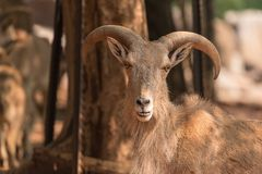 Male Barbary sheep, Ammotragus lervia. A male Barbary sheep, Ammotragus lervia, a species of goat-antelope native to rocky mountains in North Africa Royalty Free Stock Photography