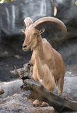 Male Barbary sheep (Ammotragus lervia). Standing on the rock Royalty Free Stock Photos