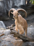 Male Barbary sheep (Ammotragus lervia). Standing on the rock Royalty Free Stock Image