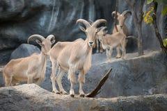 Male Barbary sheep (Ammotragus lervia). Barbary sheep (Ammotragus lervia) standing on the rock Royalty Free Stock Photography