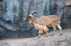 Male Barbary sheep (Ammotragus lervia). Walking on the rock Stock Photography