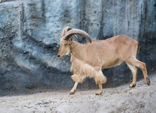 Male Barbary sheep (Ammotragus lervia). Walking on the rock Stock Images
