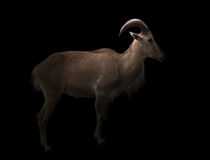 Male barbary sheep in the dark. Female barbary sheep standing in the dark Stock Image