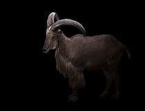Male barbary sheep in the dark. Male barbary sheep standing in the dark Stock Image