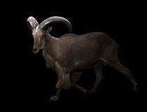 Male barbary sheep in the dark Royalty Free Stock Image