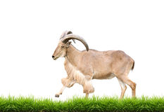Male Barbary sheep with green grass isolated. On white background Stock Photography