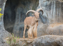 Male barbary sheep. Stand on the rock Stock Photo
