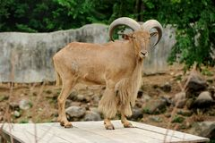 Male of barbary sheep stand on wooden top Royalty Free Stock Image