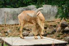 Male barbary sheep standing on wooden top Royalty Free Stock Photos
