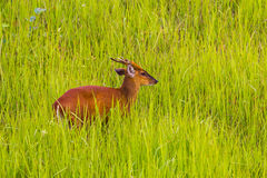Male Barking Deer (Muntjacs or Mastreani deer). On the field in nature at Khaoyai national park,Thailand stock photography