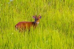 Male Barking Deer (Muntjacs or Mastreani deer) Stock Images