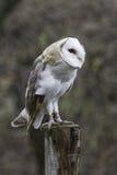 Male Barn Owl Stock Image