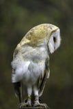 Male Barn Owl Stock Photography