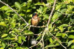 Male Barn Swallow. At vancouver bc canada Stock Photo