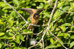 Male Barn Swallow. At vancouver bc canada Stock Photography