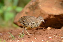 Male barred buttonquail Royalty Free Stock Images