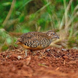 Male Barred Buttonquail Stock Photography