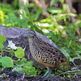 Male Barred Buttonquail Stock Images