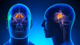 Male Basal Ganglia Brain Anatomy - blue concept vector illustration