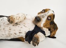 Male Basset Hound Stock Photo