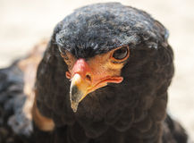 Male Bateleur eagle Stock Photography
