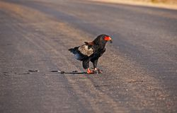 Male Bateleur Terathopius ecaudatus. With the remnants of his bird prey. Photographed in Kruger National Park. South Africa stock image