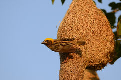 Male baya weaver. Beautiful male baya weaver nesting Stock Image