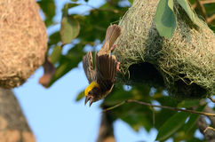 Male baya weaver. Beautiful male baya weaver (Ploceus philippinus) nesting Royalty Free Stock Photos