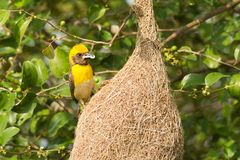 Male Baya Weaver Bird Stock Image