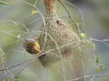 Male baya weaver with nest. Baya weaver also called as Ploceus philippinus Royalty Free Stock Photos