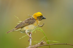 Male Baya weaver(Ploceus philippinus) Royalty Free Stock Images