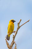 Male Baya Weaver (Ploceus philippinus). On the tree Royalty Free Stock Photography