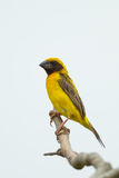 Male Baya Weaver. (Ploceus philippinus) on the tree Royalty Free Stock Image
