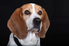 Male beagle. Isolated over black background Stock Photography