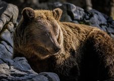 Male bear soaking up the sun. A male brown bear in Europe soaking up the last rays of sun Royalty Free Stock Photography