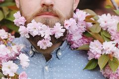 Male beard in sakura flowers. Bearded man with cherry flowers in beard, male portrait close-up on spring background stock images