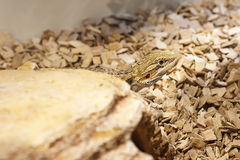 Male bearded dragon Stock Image