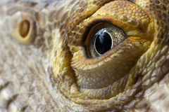 Male bearded dragon eye macro. An exotic male bearded dragon eye showing the small details and textures royalty free stock photo