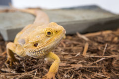 Male bearded dragon Royalty Free Stock Image
