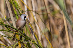 Male Bearded Tit Among Greens Stock Photo