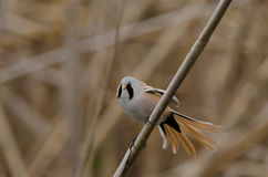 Male Bearded Tit (panurus biarmicus). In natural habitat Royalty Free Stock Photography